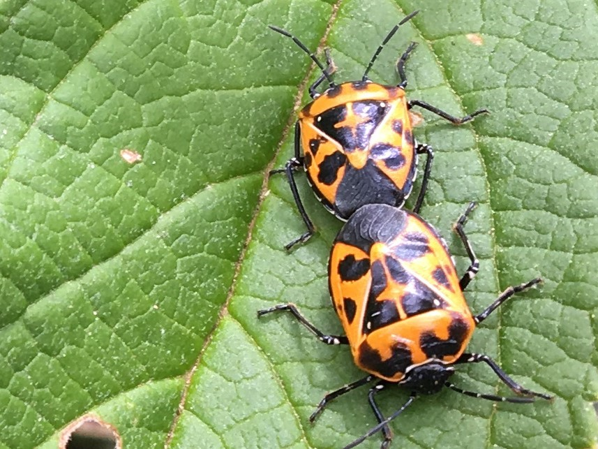 Winning the War on Harlequin Bugs